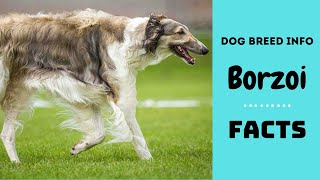 Borzoi dog breed. All breed characteristics and facts about Borzoi dogs