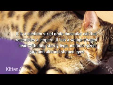Kittenads breed guide to Ocicat