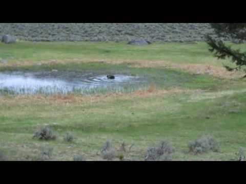 Grizzly Bear Bathing in Yellowstone