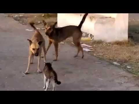 Brave Cat vs dogs/ one cat and five Dogs, guess who wins.