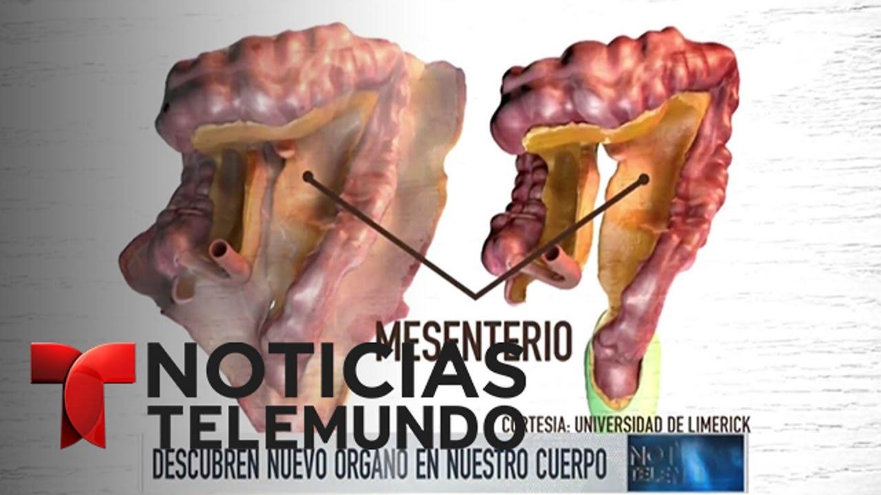 Descubren nuevo órgano del cuerpo humano | Noticiero | Noticias ...