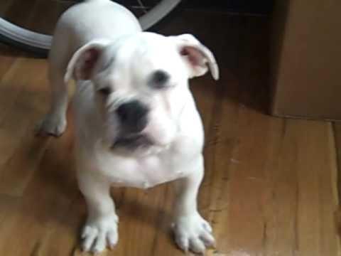 Angry little english bulldog - YouTube
