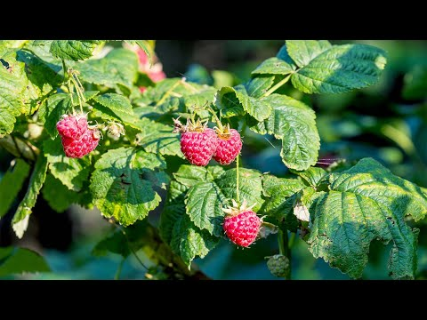 How to Grow Raspberries at home in Pots – Gardening Tips