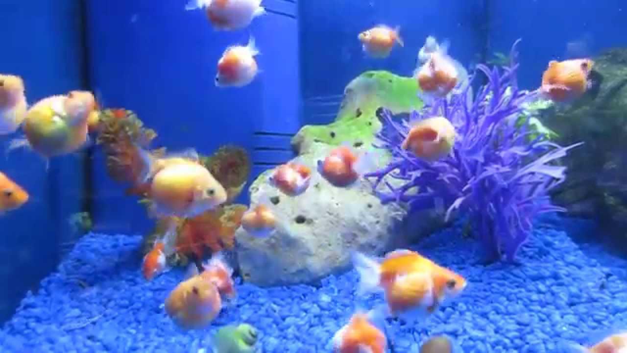 Pearlscale Gold Fish - GoldFish उष्ण मछ्ली - YouTube