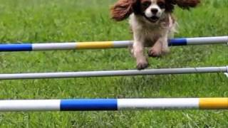 Cavalier Agility (slow Motion Movie)
