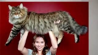 топ 10 самые крупные породы домашних кошек интересное видео