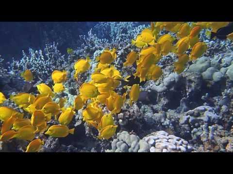 School of Bright Yellow Tang Fish - Two Step Snorkeling, Big Island, Hawaii