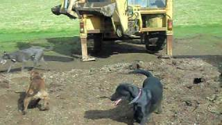 Rat Catching With Farm Dogs About 250 Rats Part 1 Rats Fail