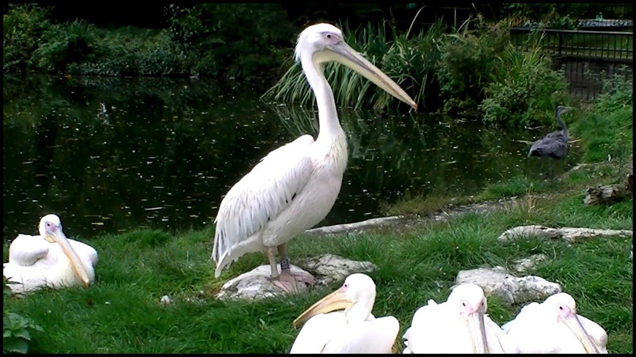 eastern white pelican pelecanus onocrotalus youtube