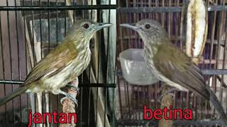 Download Lagu Suara Burung Siri Siri Betina Mp3 Video Gratis