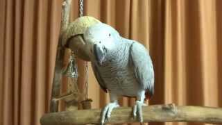 Попугай жако Чока. Попугайская школа.(, 2014-11-15T18:47:20.000Z)