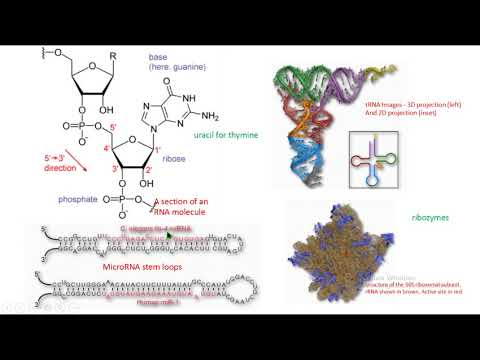Estructura Rna Structure Micro Rna Trna Rrna Ribozyme