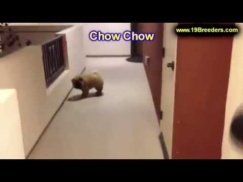 Chow Chow, Puppies, For, Sale, In, Anchorage, Alaska,AK, Fairbanks, Juneau, Eagle River
