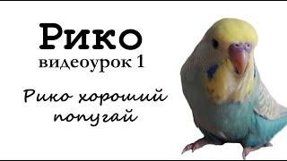 """🎤 Учим попугая по имени Рико говорить, видеоурок 1: """"Рико хороший попугай"""""""