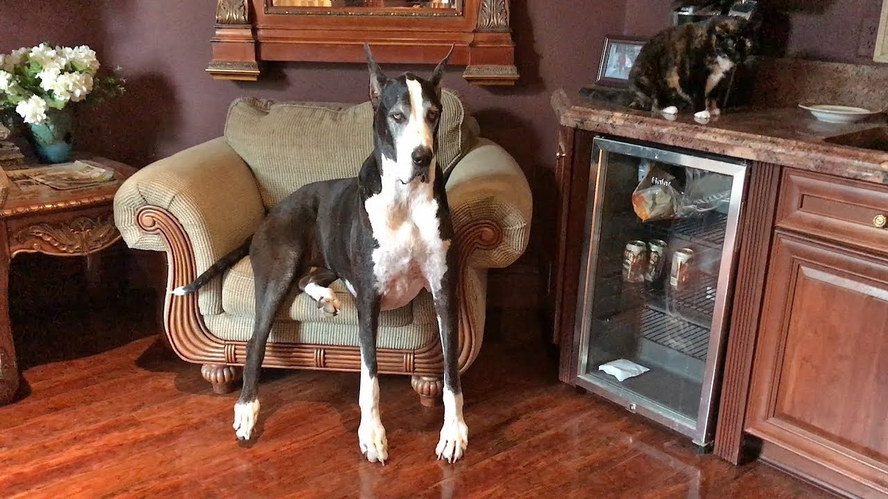 R Great Danes Smart Impatient Great Dane N...