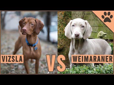 Vizsla vs Weimaraner  Dog Breed Comparison
