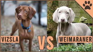 Vizsla vs Weimaraner  Dog Breed Comparison