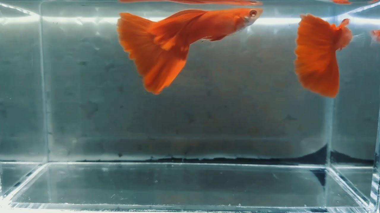 Ikan Guppy Albino Full Red 🐟 AFR (QiAQua) - YouTube
