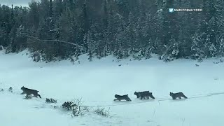 Rare sighting of lynx litter caught on camera on Manitoba highway