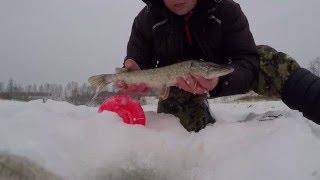 Зимняя рыбалка 2016, Ловля щуки на жерлицы, поставушки , флажки #2.Catching of a pike, postavushka,..