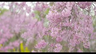 四季の里緑水苑 春ver