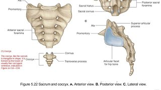 Coccyx in Hindi