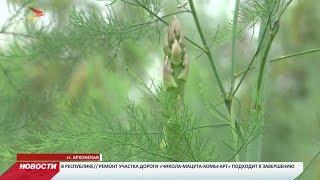 В Северной Осетии появилась крупнейшая в России плантация спаржи
