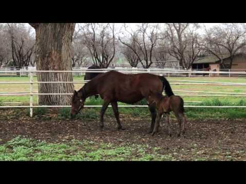 Lucky Pulpit 2017 Filly out of Oh Ramblin Rose (Martin Racing)