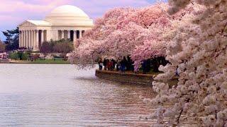 Под вишнями в цвету