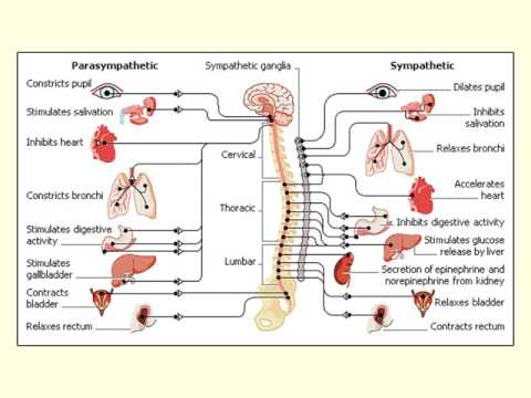 Lecture 5a: the peripheral nervous system