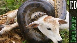 vuclip Massive Anaconda VS Cow