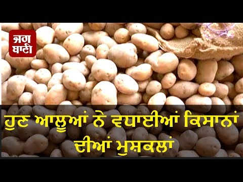 Punjab Farmers worried due to low purchase cost of potato harvest