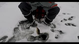 Cекрет успешной ловли окуня зимой  на балансир.
