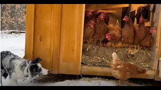Training a border collie to herd chickens