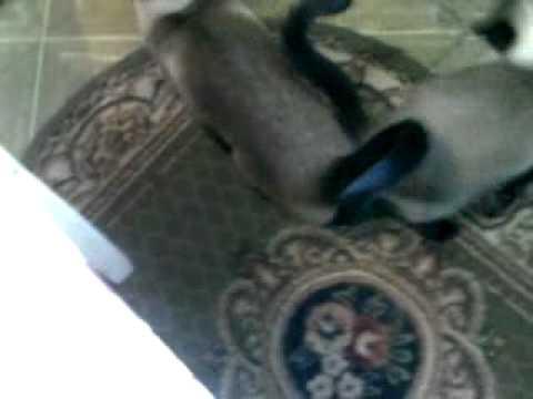 Песни сиамских котов