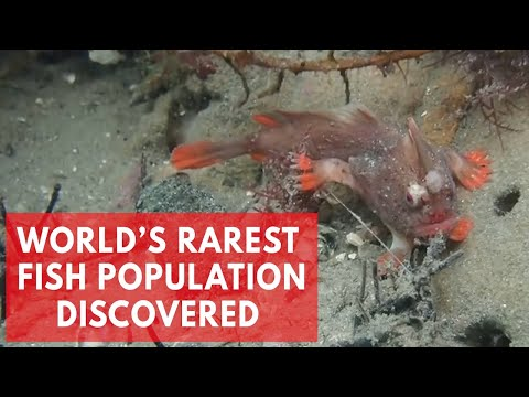 Red Handfish: Divers discover new population of world's rare