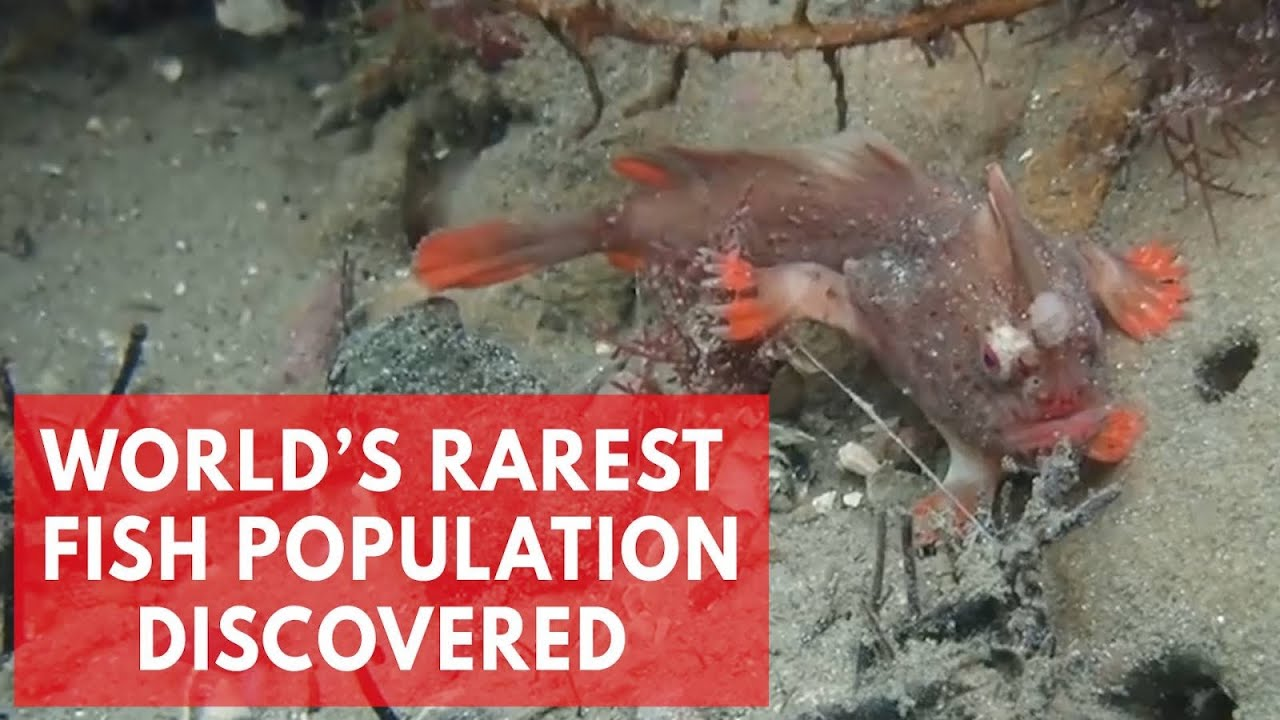 Red Handfish: Divers discover new population of world's ...