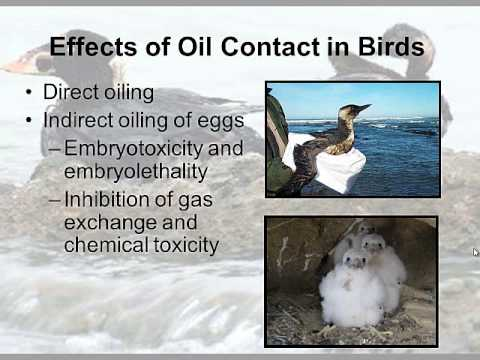 The Effects of Oil Spills on Ecosystems- 2013 EROS Video Mod