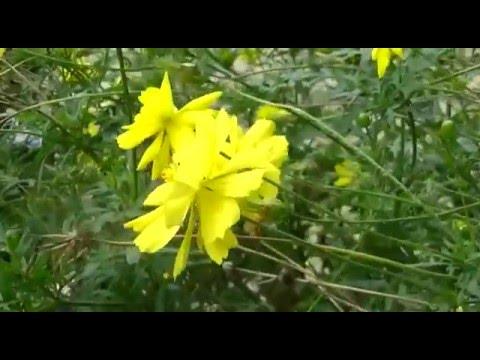 gardenia yellow flowers  gardenia nyc reviews, Beautiful flower