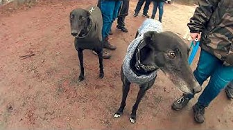 The arrival of new Greyhounds from Ireland - Ankunft neuer Greys bei Greyhoundhilfe Deutschland e.V.