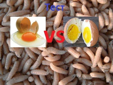 Разведение опарыша в домашних условиях Вареное яйцо или Сырое Тест Видео Full HD
