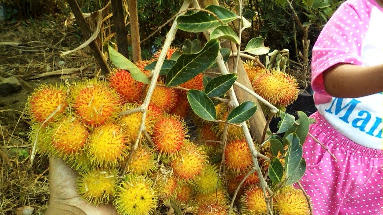 Vlog #1: Dwarf Rambutan Fruit Tree by Grafting Examples ...