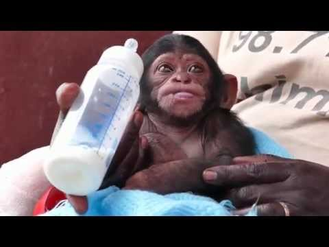 Adorable baby chimp at sanctuary almost falls asleep drinking bottle