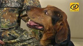 Новую породу охотничьих собак вывели в Беларуси
