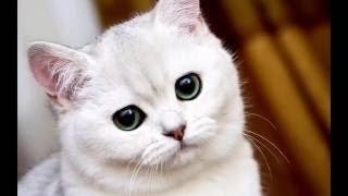 Экзотические домашние кошки