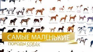 Самые маленькие породы собак в мире ( ТОП 10 )