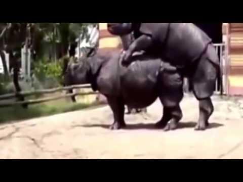 Tê giác giao phối đẻ con