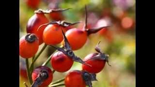ローズヒップを花とともに紹介します。 一季咲きのバラは秋に実がなり、...