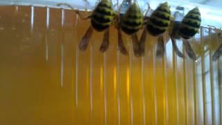 Осы воруют мёд