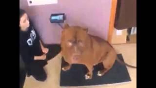 Big Dog - Biggest Pitbull in the world